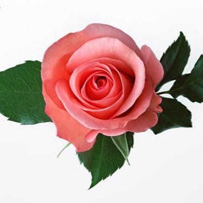 玫瑰竟然有这么神奇护肤功效!