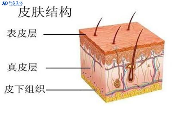 美妆厂家分析皮肤构造-欧泉生化